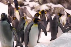 Coraggiosi come i pinguini
