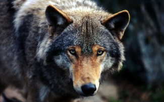 Wolf or Grey wolf (Canis lupus)
